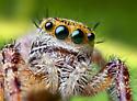 Jumping Spider - Phidippus princeps