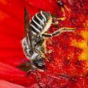 Megachile? - Megachile - female