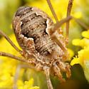 Harvestman - Phalangium opilio - female