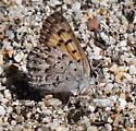 An azure sp? - Lycaena mariposa