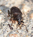 Unknown weevil-like true bug? - Otiorhynchus rugosostriatus