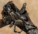 Very Large long Legged Spider - Araneus saevus - male