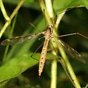 Crane Fly - Tipula borealis
