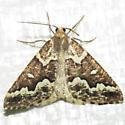 6863 Gray Spruce Looper - Caripeta divisata - male
