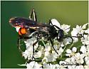 Spider Wasp - Anoplius americanus