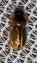 Dark-headed scarab - Aphodius pseudolividus
