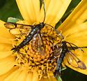 Clearwing moth - Carmenta ithacae