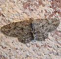 moth - Iridopsis defectaria