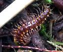 Family Nearctodesmidae? in WA