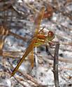 Dragonfly sp. - Libellula auripennis