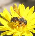 Bee - Dieunomia nevadensis - female