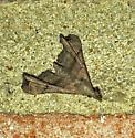 Rippled Looking Moth - Palthis asopialis