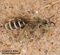 Bee digging in sand, Hesperapis sp.? - Hesperapis - female