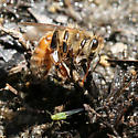 Honey Bee Gathering Water - Apis mellifera
