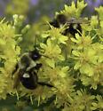 Bees on Solidago speciosa - Bombus impatiens
