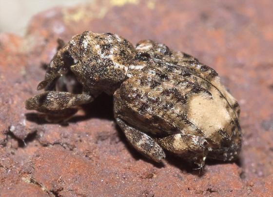 Brown, mottled weevil - Conotrachelus buchanani