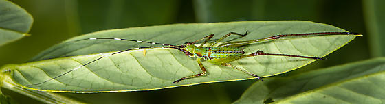 Bush Katydid nymph-Scudderia - Scudderia