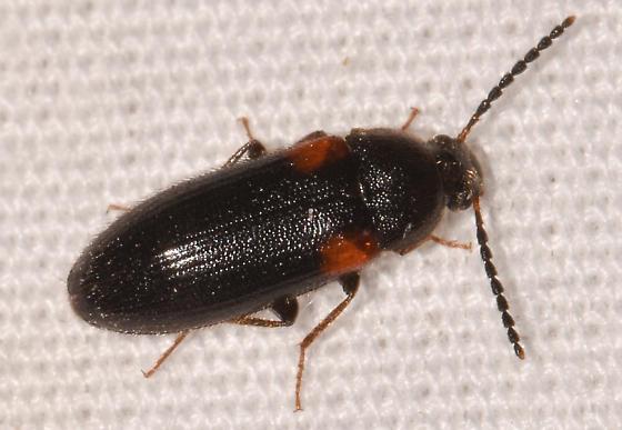 beetle060219-12 - Mycetochara