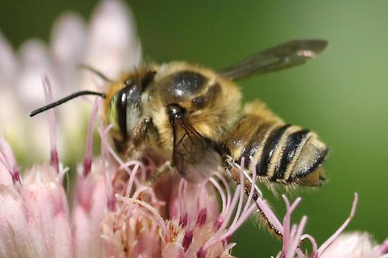 Megachile sp - Megachile petulans - male