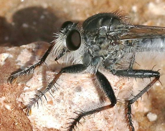 Robber Fly sp.
