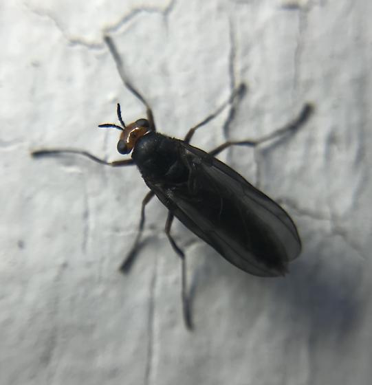Female sugarcane soldier fly - Inopus rubriceps - female