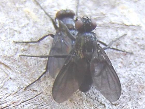 Black Flies - Melanophora roralis - male - female