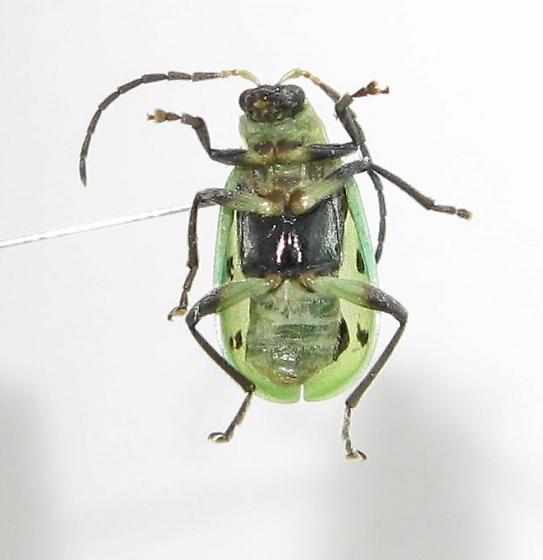 Spotted Cucumber Beetle (Subspecies?) - Diabrotica undecimpunctata