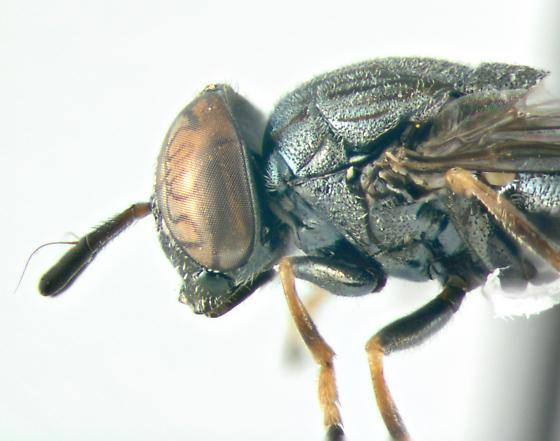 Syrphidae, lateral - Orthonevra nitida - female