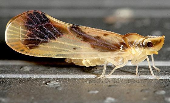 Fulgorid, Otioceras ssp.? - Otiocerus reaumurii