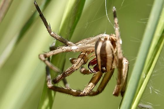 Rabid wolf spider? - Rabidosa