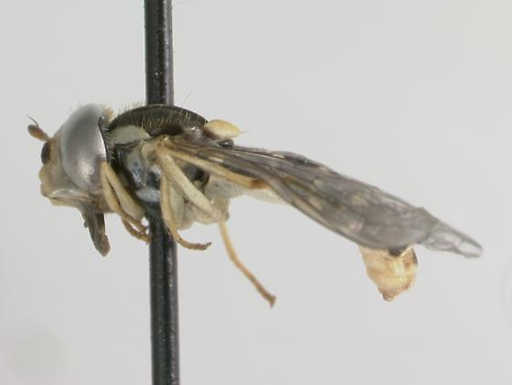 Syrphidae - Sphaerophoria sulphuripes