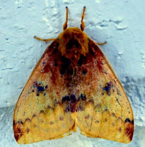 7746     Io Moth - m     (Automeris io) - Automeris io - male