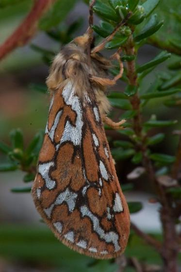 Mystery Moth - Gazoryctra