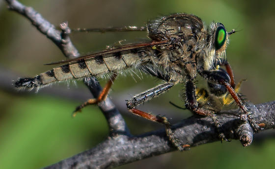 Unknown Robber Fly - Promachus vertebratus - male