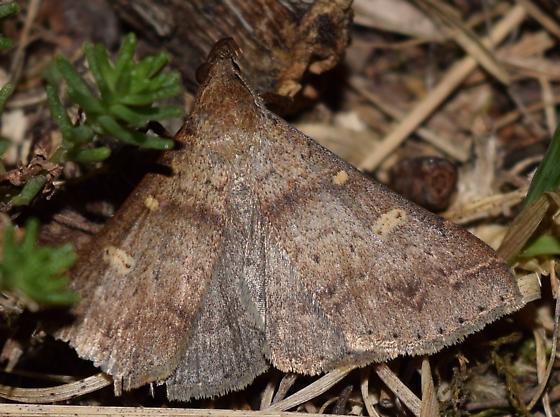 Moth in ground litter - Renia