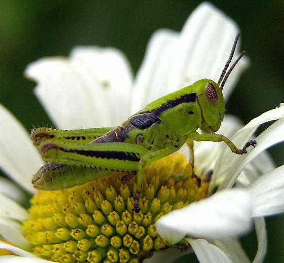 Acridid grasshopper - Melanoplus bivittatus - female