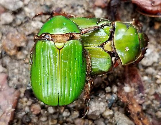 Beetle - Chrysina lecontei
