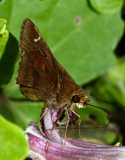brown Skipper - Lerema accius