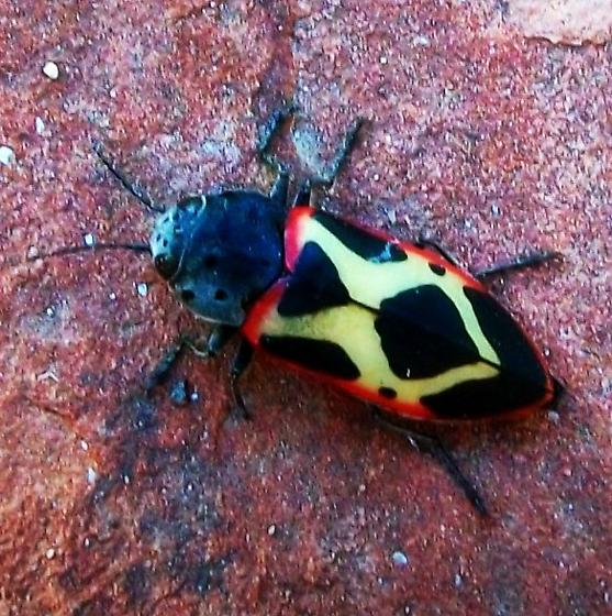 beetle - Xenomelanophila miranda