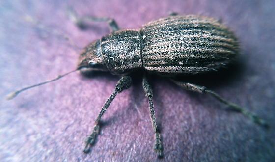 Data — N. leucoloma - Naupactus leucoloma