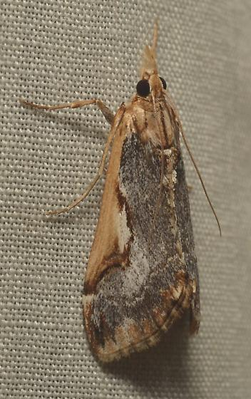 Moth ID - Loxostege albiceralis