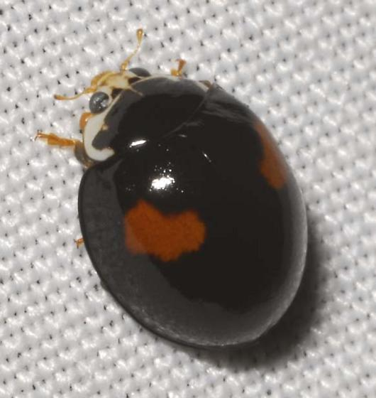 Ashy Gray Lady Beetle - Olla v-nigrum