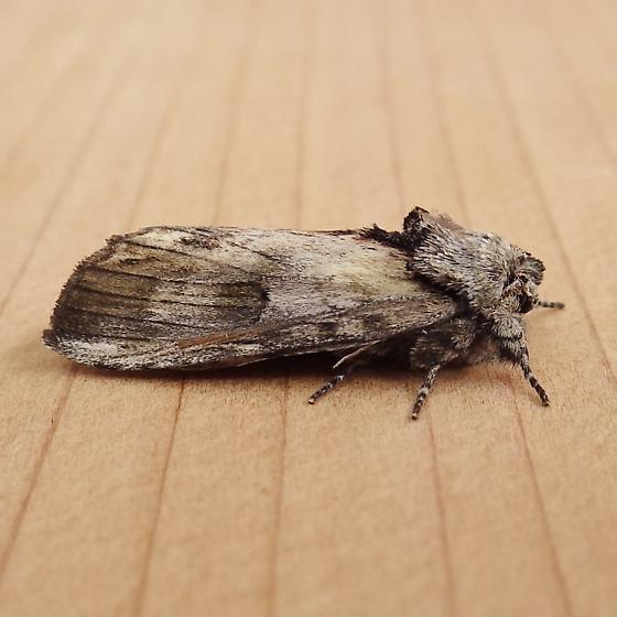Notodontidae: Oligocentria semirufescens - Oligocentria semirufescens