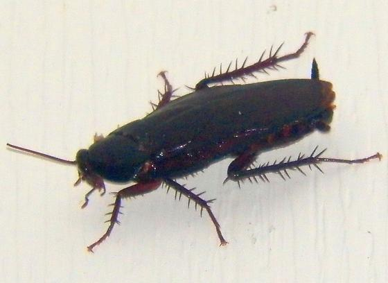 Bug 062516bar - Periplaneta fuliginosa