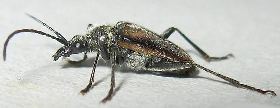 Gnathacmaeops pratensis