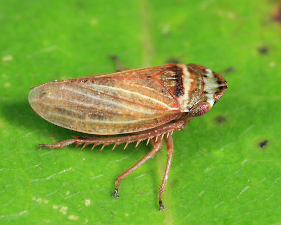 leafhopper - Aphrodes makarovi