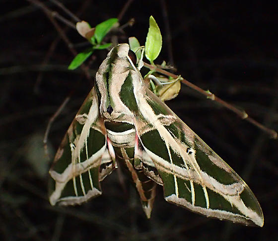 sphinx - Eumorpha vitis