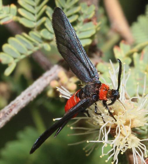 Triprocris yampai Leaf Skeletonizer Moth - Triprocris yampai