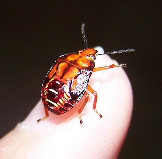 Podisus maculiventris nymph - Podisus maculiventris - female