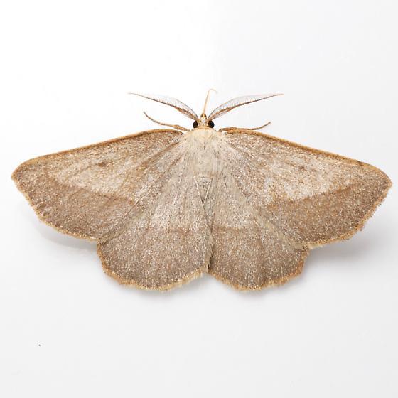 Euchlaena irraria - male